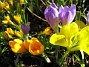 Krokus och Iris  2007-03-17 Bild 058