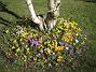Krokus  2007-03-17 Bild 066
