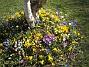 Krokus  2007-03-17 Bild 067