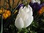 Krokus  2007-03-17 Bild 072