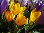 Krokus  2007-03-17 Bild 074