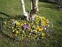 Krokus  2007-03-17 Bild 084