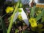 Snödroppe  2007-03-24 Bild 017