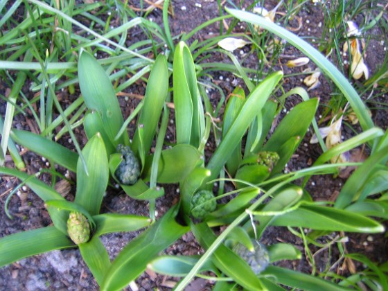 Hyacinter &nbsp 2007-04-06 Bild 046 Granudden Färjestaden Öland