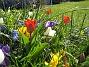 Krokus och Tulpaner  2007-04-06 Bild 022