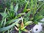 Hyacinter  2007-04-06 Bild 047