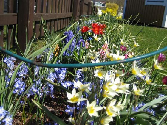 Vårstjärna och Vildtulpan  2007-04-14 Bild 012 Granudden Färjestaden Öland