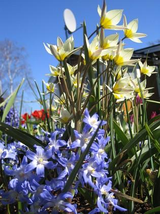 Vårstjärna och Vildtulpan &nbsp 2007-04-14 Bild 014 Granudden Färjestaden Öland