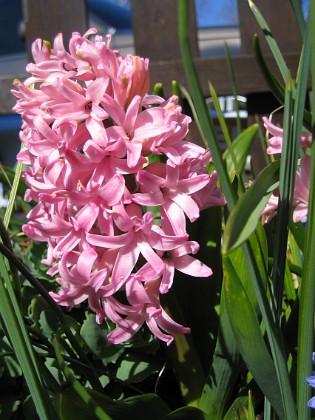 Hyacint  2007-04-14 Bild 032 Granudden Färjestaden Öland