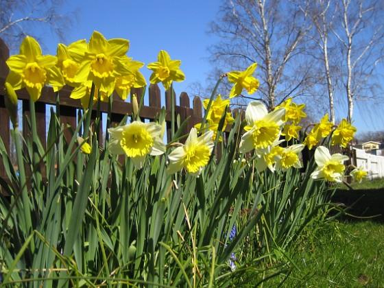 Påskliljor &nbsp 2007-04-14 Bild 036 Granudden Färjestaden Öland