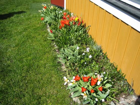 Tulpaner &nbsp 2007-04-14 Bild 041 Granudden Färjestaden Öland