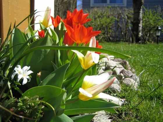 Tulpaner  2007-04-14 Bild 044 Granudden Färjestaden Öland