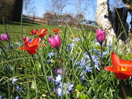 Vårstjärna och Tulpaner &nbsp 2007-04-14 Bild 058 Granudden Färjestaden Öland