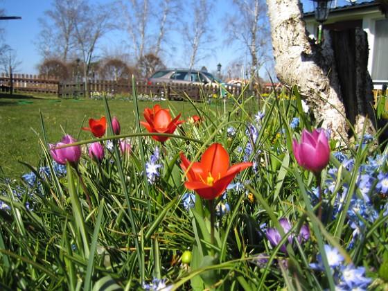 Vårstjärna och Tulpaner  2007-04-14 Bild 064 Granudden Färjestaden Öland