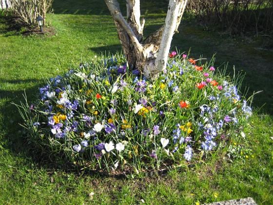 Vårstjärna och Tulpaner &nbsp 2007-04-14 Bild 068 Granudden Färjestaden Öland