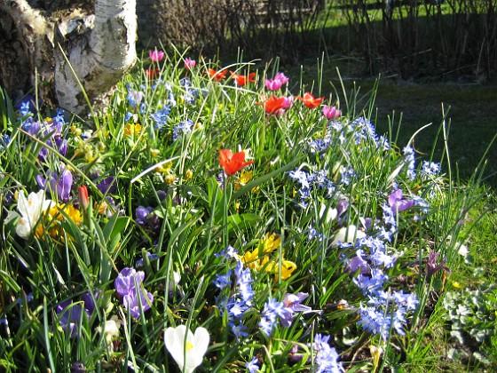 Vårstjärna och Tulpaner  2007-04-14 Bild 069 Granudden Färjestaden Öland