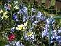 Vårstjärna och Vildtulpan  2007-04-14 Bild 024