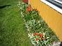 Tulpaner  2007-04-14 Bild 041