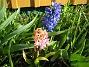 Hyacinter  2007-04-14 Bild 066