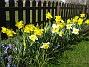 Narcisser  2007-04-14 Bild 075