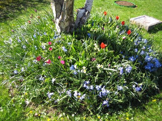 Vårstjärna och Tulpaner &nbsp 2007-04-21 Bild 003 Granudden Färjestaden Öland