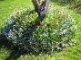 Vårstjärna och Tulpaner  2007-04-21 Bild 002