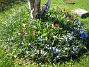 Vårstjärna och Tulpaner  2007-04-21 Bild 003