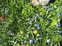 Vårstjärna och Tulpaner  2007-04-21 Bild 004