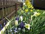 Påskliljor och Hyacinter  2007-04-21 Bild 015