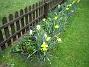 Narcisser  2007-05-01 Bild 013