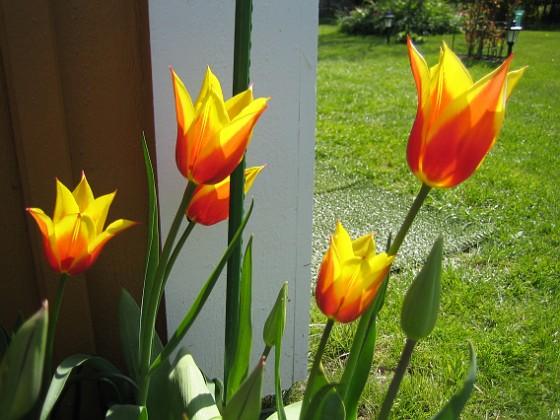Liljeblommiga Tulpaner  2007-05-05 Bild 003 Granudden Färjestaden Öland