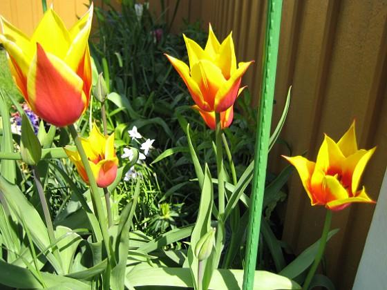 Liljeblommiga Tulpaner  2007-05-05 Bild 019 Granudden Färjestaden Öland