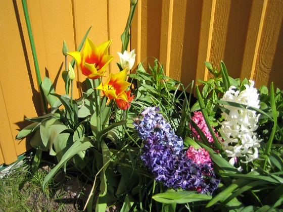 Liljeblommiga Tulpaner och Hyacinter {  }