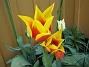 Liljeblommiga Tulpaner  2007-05-05 Bild 002