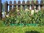 Vildtulpaner  2007-05-05 Bild 006