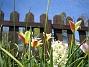 Vildtulpaner  2007-05-05 Bild 009