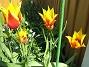 Liljeblommiga Tulpaner  2007-05-05 Bild 019