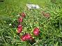 Vildtulpaner  2007-05-05 Bild 027