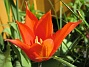 Liljeblommiga Tulpaner  2007-05-05 Bild 038