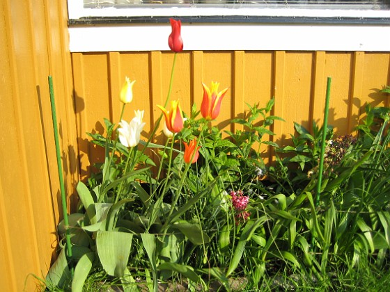 Liljeblommiga Tulpaner &nbsp 2007-05-17 Bild 016 Granudden Färjestaden Öland