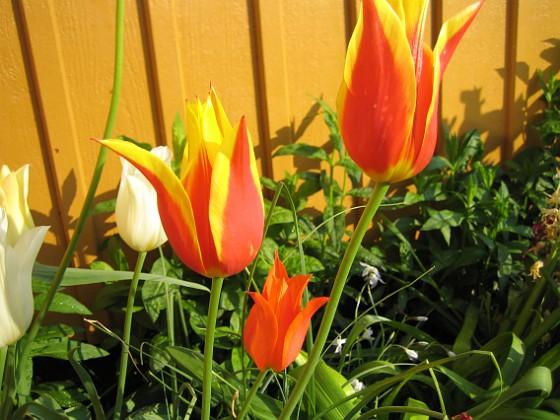 Liljeblommiga Tulpaner  2007-05-17 Bild 019 Granudden Färjestaden Öland