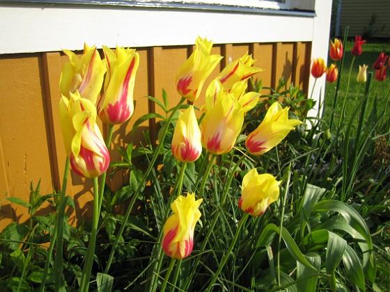 Liljeblommiga Tulpaner &nbsp 2007-05-17 Bild 020 Granudden Färjestaden Öland