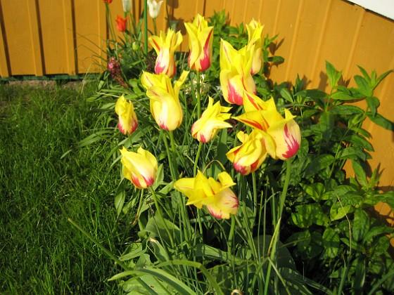 Liljeblommiga Tulpaner  2007-05-17 Bild 023 Granudden Färjestaden Öland