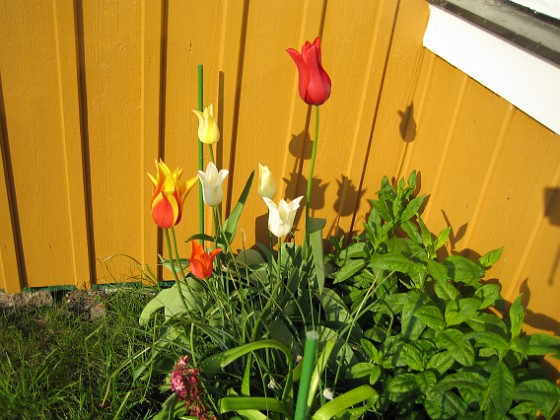 Liljeblommiga Tulpaner  2007-05-17 Bild 024 Granudden Färjestaden Öland