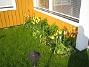 Liljeblommiga Tulpaner  2007-05-17 Bild 015