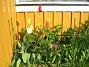 Liljeblommiga Tulpaner  2007-05-17 Bild 016