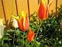 Liljeblommiga Tulpaner  2007-05-17 Bild 019