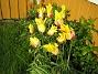 Liljeblommiga Tulpaner  2007-05-17 Bild 023