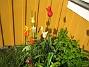 Liljeblommiga Tulpaner  2007-05-17 Bild 024