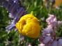 Ranunkler  2007-05-17 Bild 037